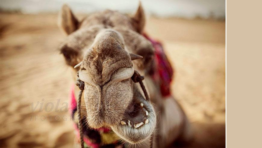 india-camel-picture-pushkar-indien-bild-Kamel-18