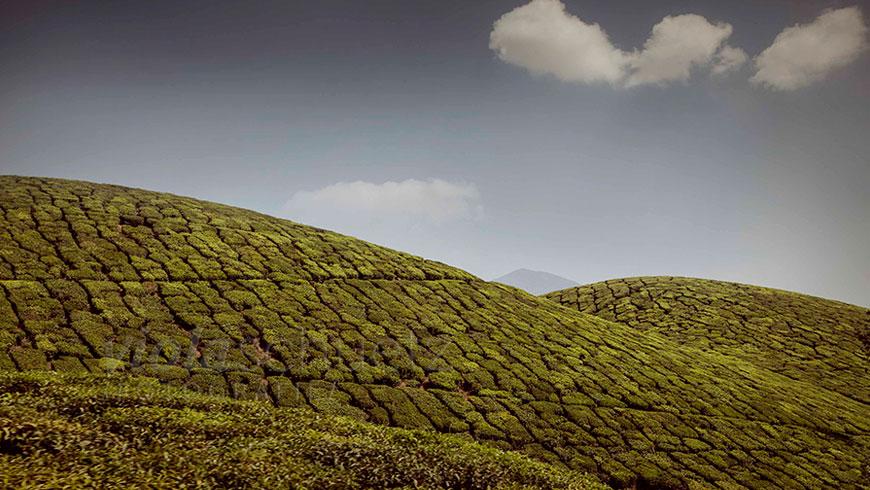 india-tea-plantation-picture-Kerala-Munnar-indien-bilder-Teeplantage-15